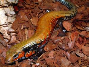 FIRE SKINK, PD Image