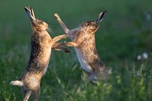 Hares Prepare For WAR!! PDI