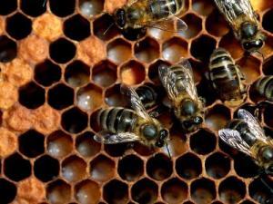 Honey Bees And Hexagons, PDI