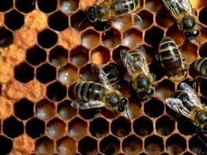 Honey Bees And Hexagons, PDI