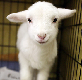 To Love A Little Lamb Of Life, PDI