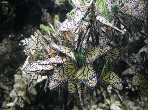 Monarch Migration, PDI