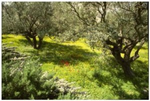 Olive Grove on Mount of Olives, PDI
